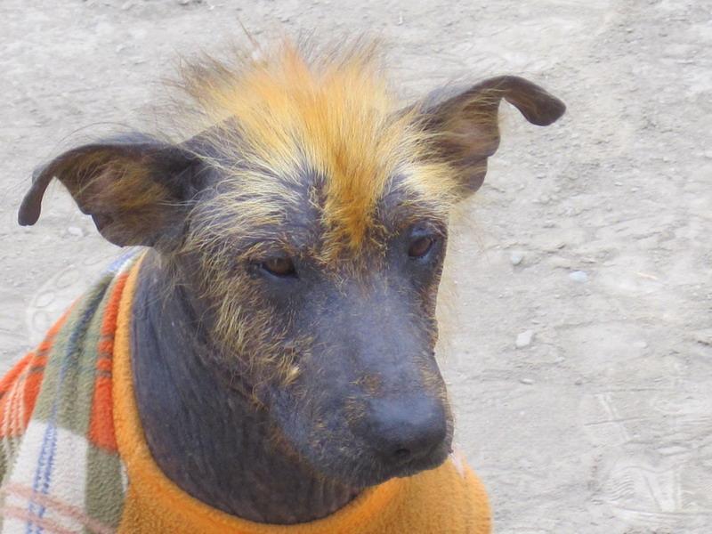 голая перуанская собака, фото