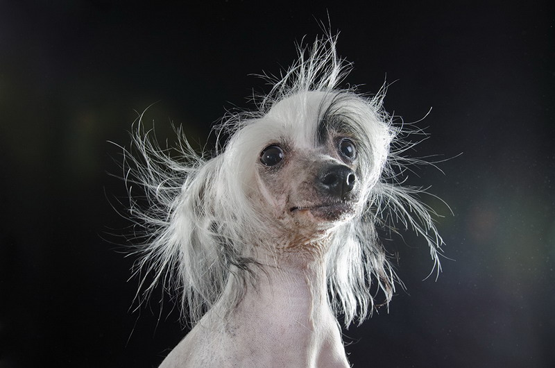 китайская хохлатая голая собака-фото