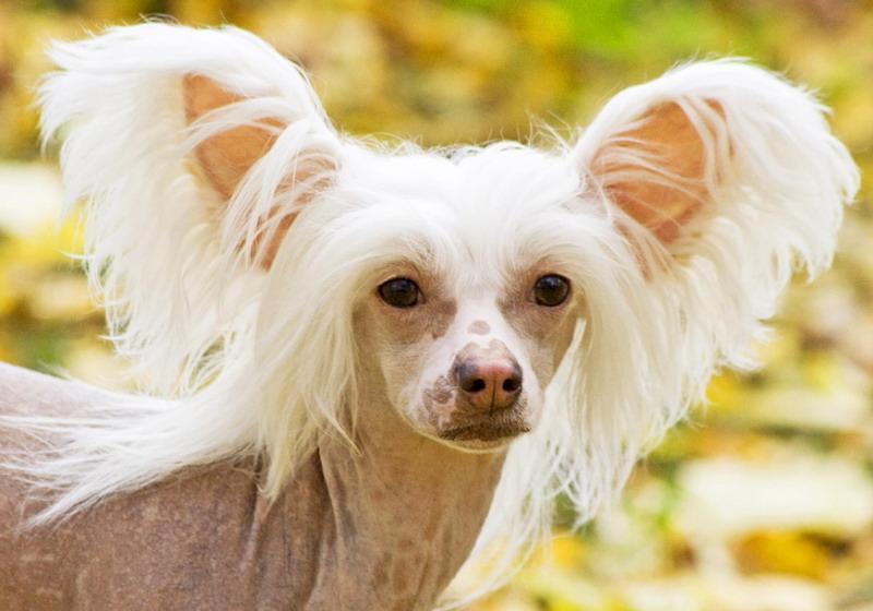 китайская хохлатая  голая собака - фото