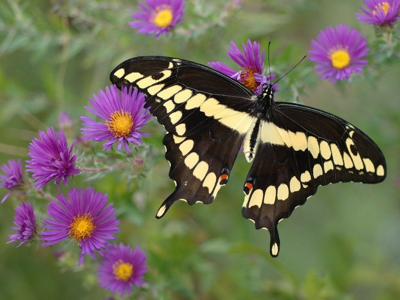 фото бабочка и цветы