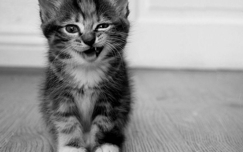 фото котенка-зуб даю