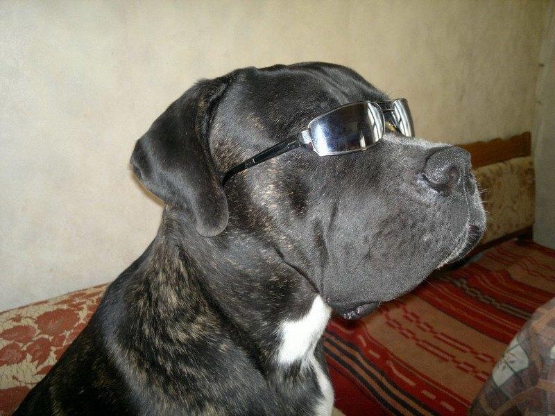 серьезная собака кане корсо-фото