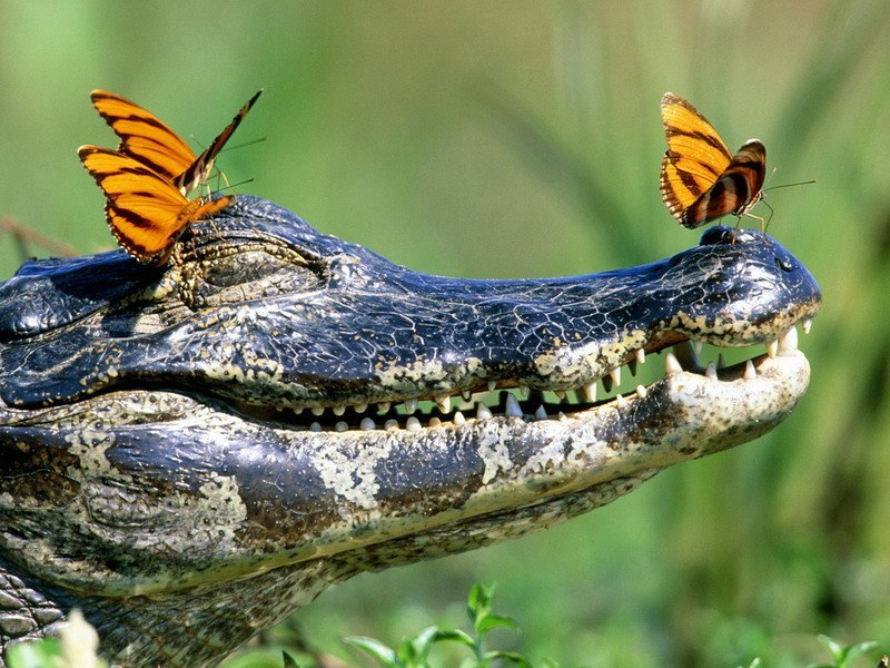 фото крокодила, улыбочку-снимаем