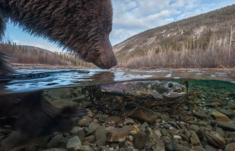 медведь гризли ловит кету в заповеднике Юкон, Канада