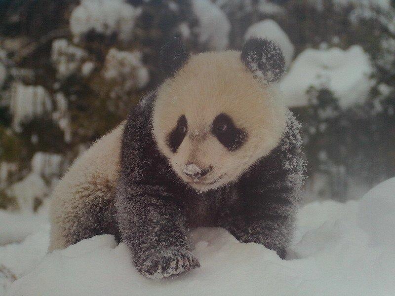 бамбуковый медведь-панда на снегу