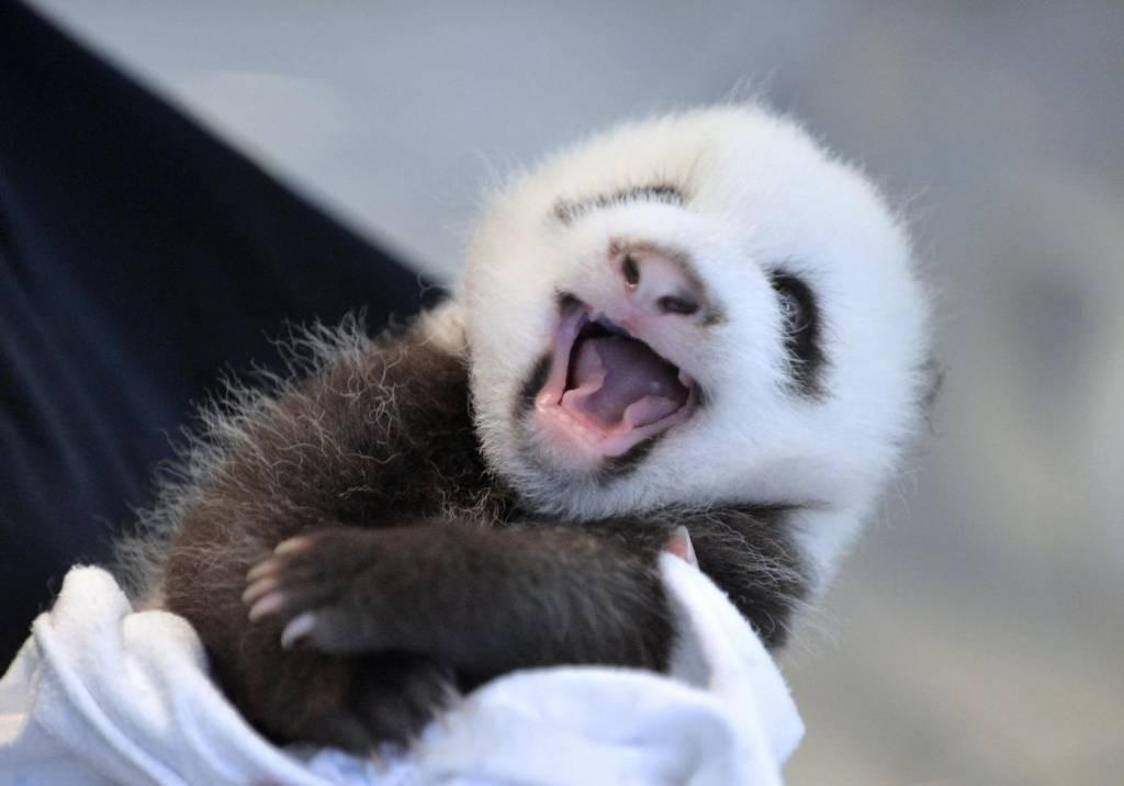 малышка панда-фото