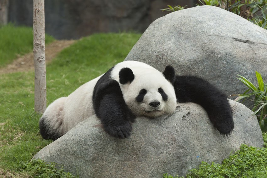 фото большой панды