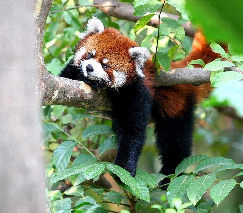 красная панда в бамбуковом лесу