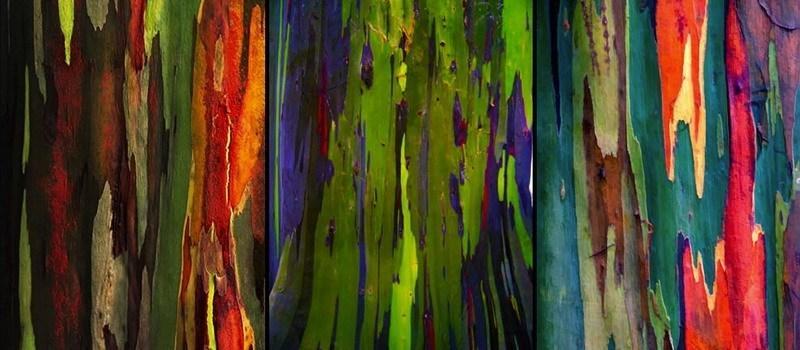 кора радужного эвкалипта