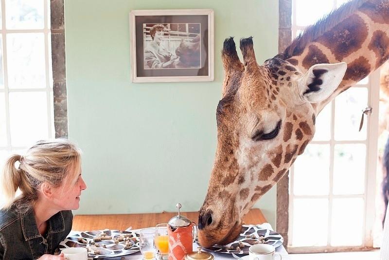 фото жирафа-завтрак с гостями отеля