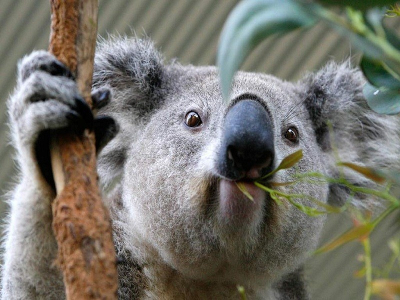 фото коала ест эвкалипт