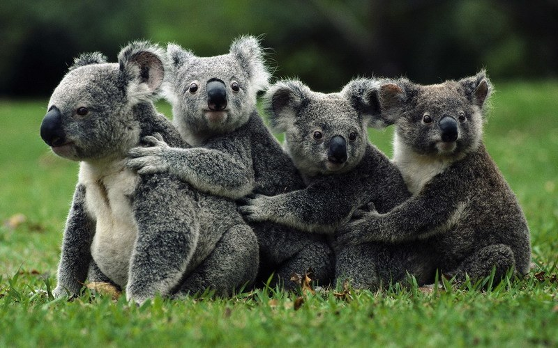 фото коал