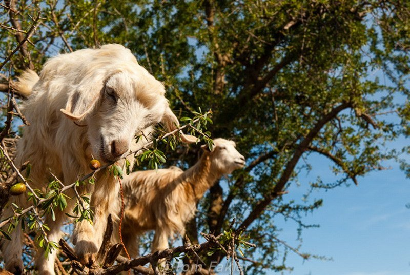 козы на дереве, Марокко