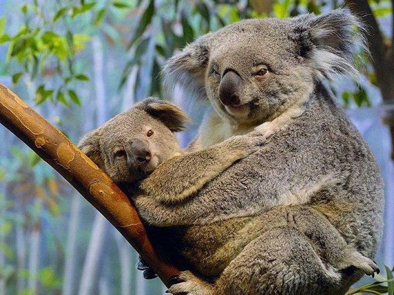 фото мама-коала и малыш