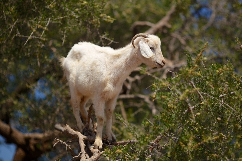 на дереве, коза в Марокко