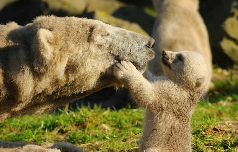 фото белый медвежонок
