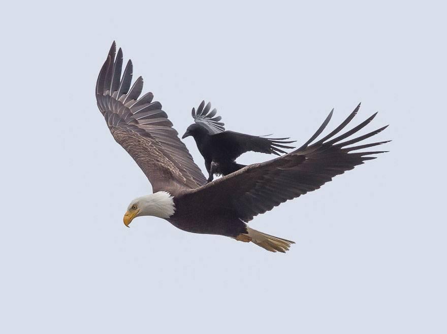 ворон верхом на белоголовом орлане