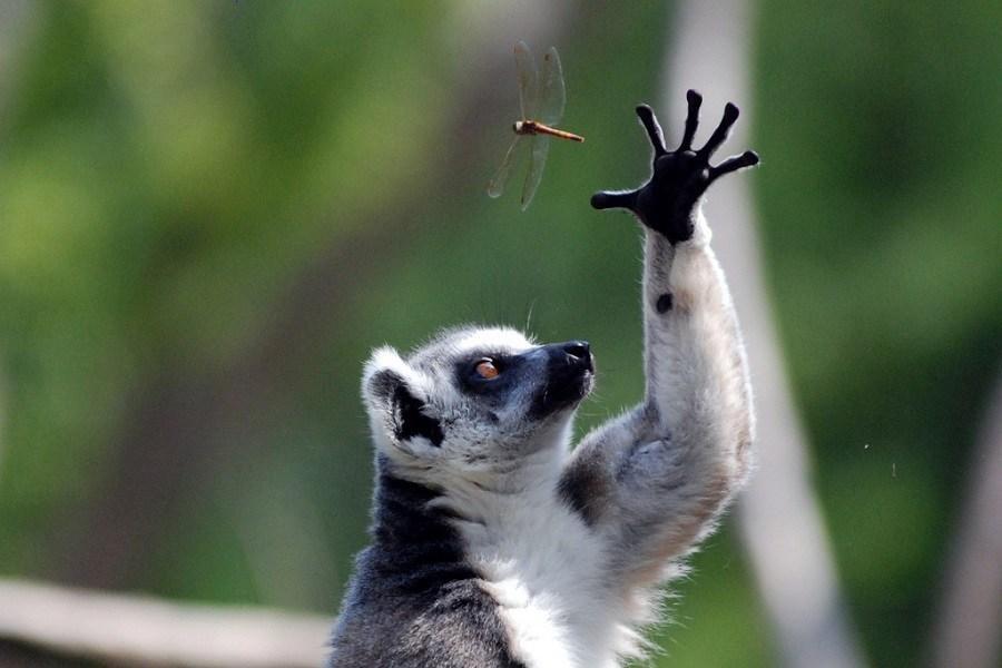 lemur-i-strekoza