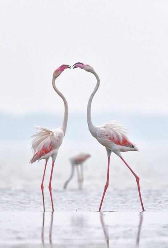 foto-flamingo