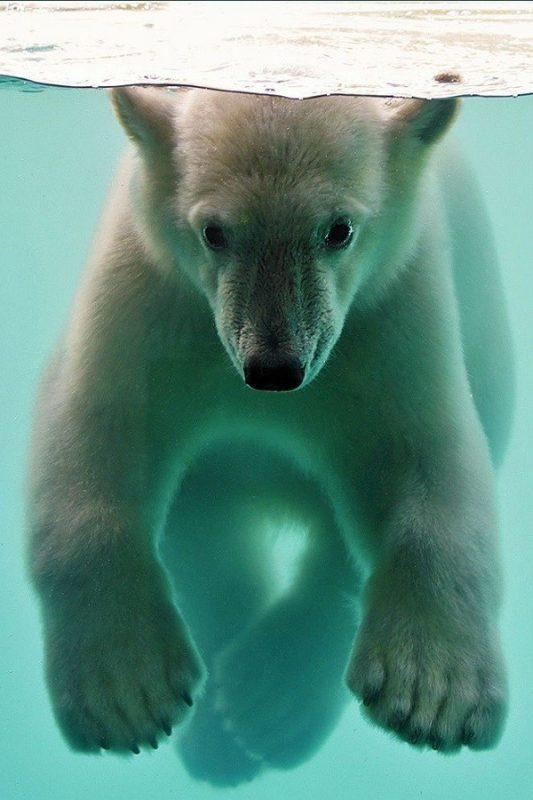 foto-belyj-medved-pod-vodoy
