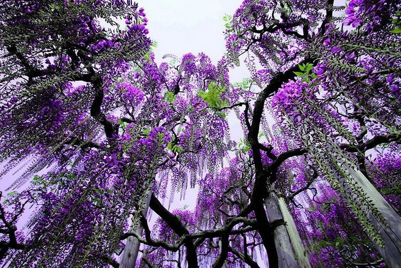 глициния в парке цветов Асикага(Япония)
