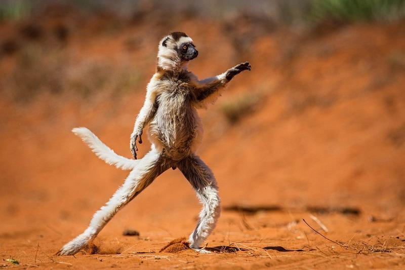 lemur_tanzuet_foto
