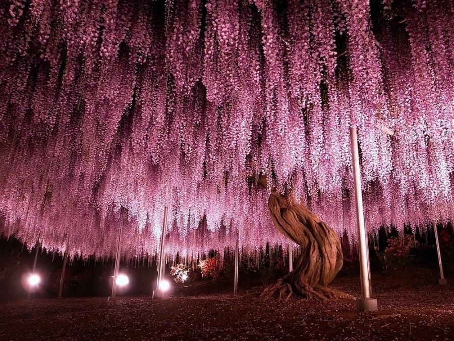 самая крупная глициния, японский парк цветов Асикага