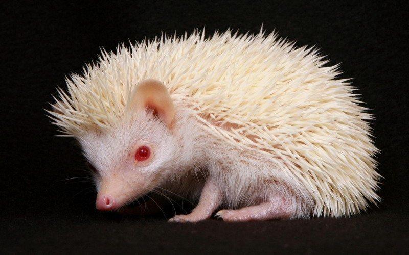 на фото белый ежик-альбинос