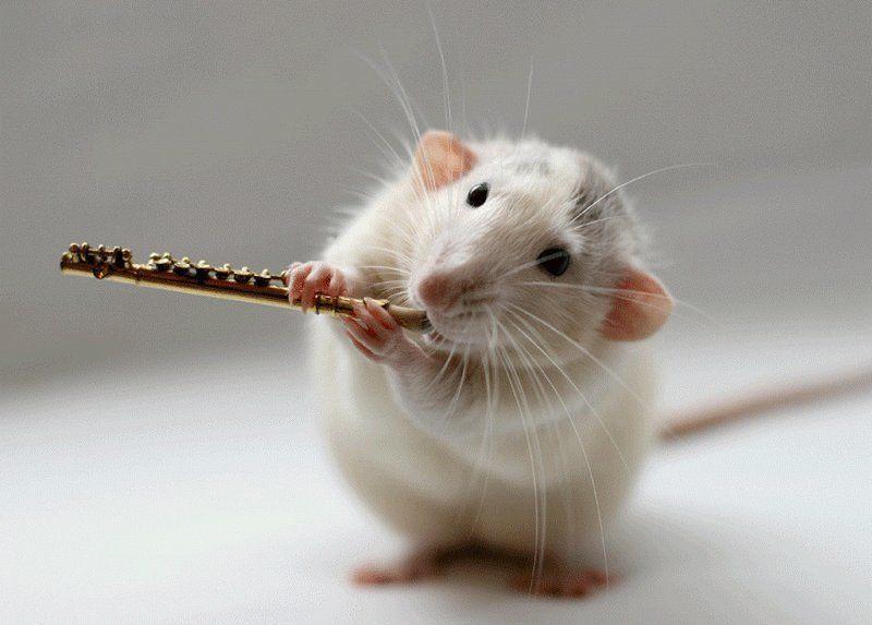 фото крыса флейтист