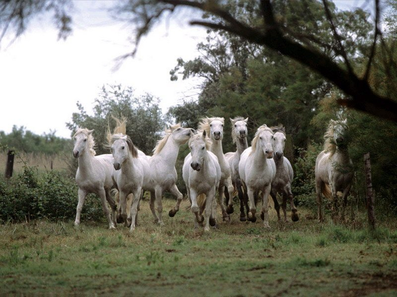 белые лошади фото