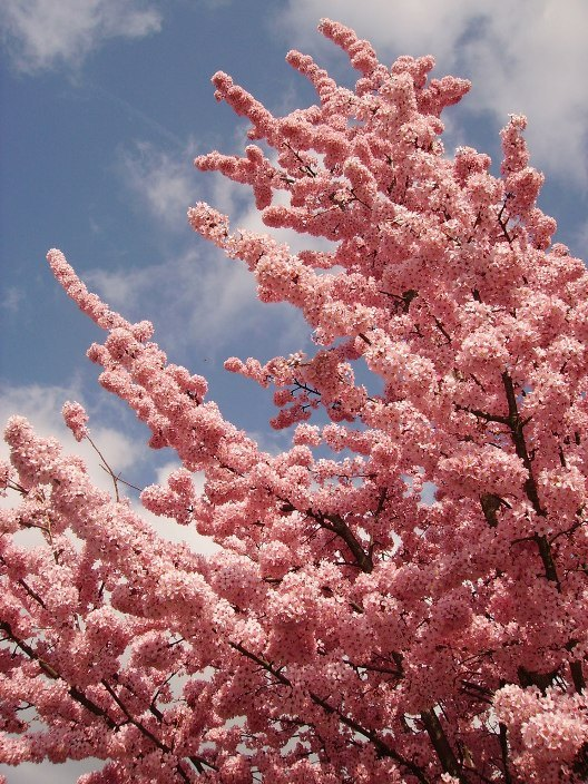 Цветущая сакура4
