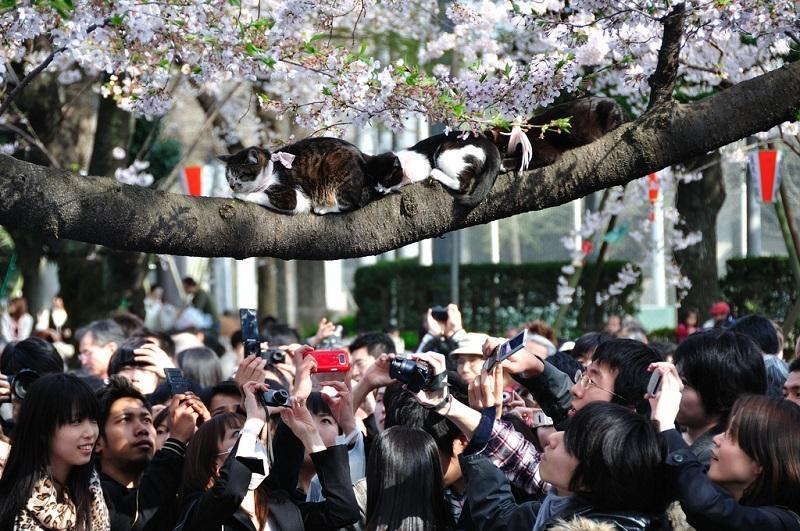 котики на цветущей сакуре
