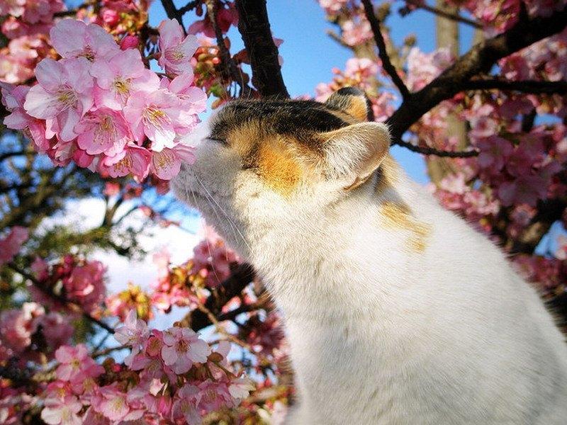 кот на фоне цветущей сакуры фото