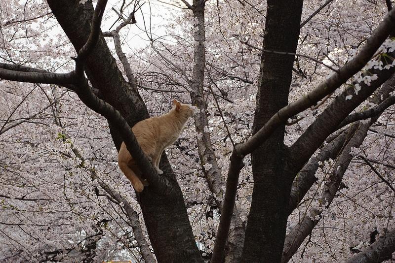 рыжий кот нюхает сакуру