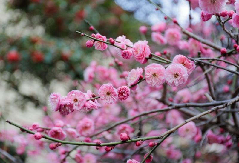 фото цветущая сакура из Ботанического сада