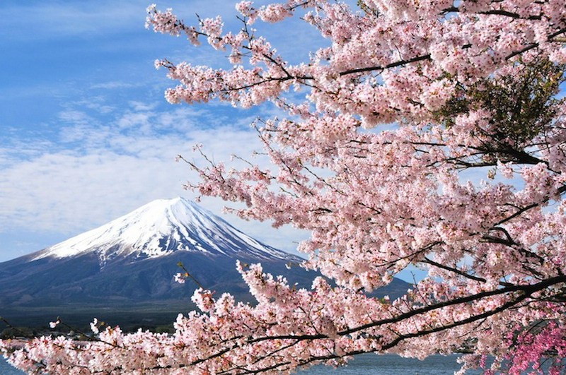 фото цветущая сакура на фоне Фудзиямы