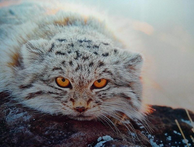 дикий кот-манул фото
