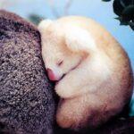 Маленький коала — фото