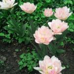 «Пушистые» тюльпаны — фото