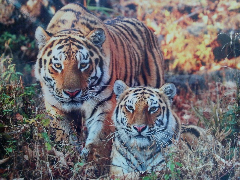 семейная чета тигров фото