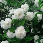Махровый жасмин — фото с ВДНХ