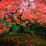 Осенний клен — фото из  Портленда, США