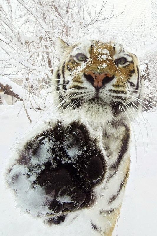 тигр фото в снегу