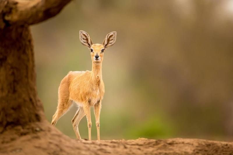 карликовая антилопа фото