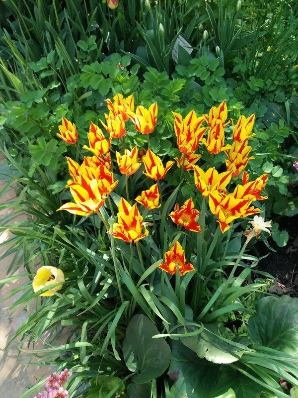 красно-желтые тюльпаны фото