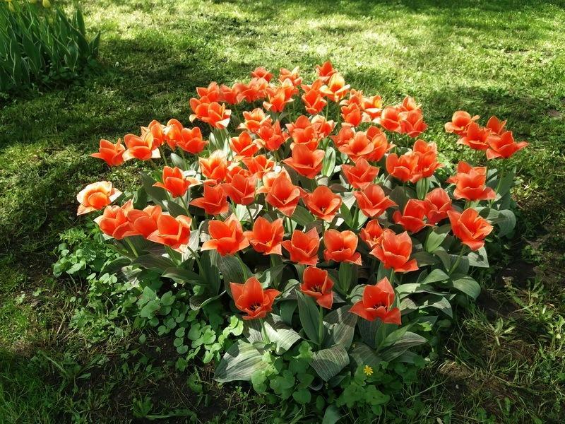 алые тюльпаны фото