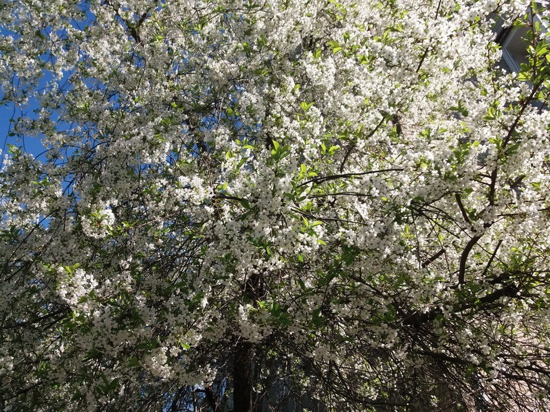 фото вишневый цвет