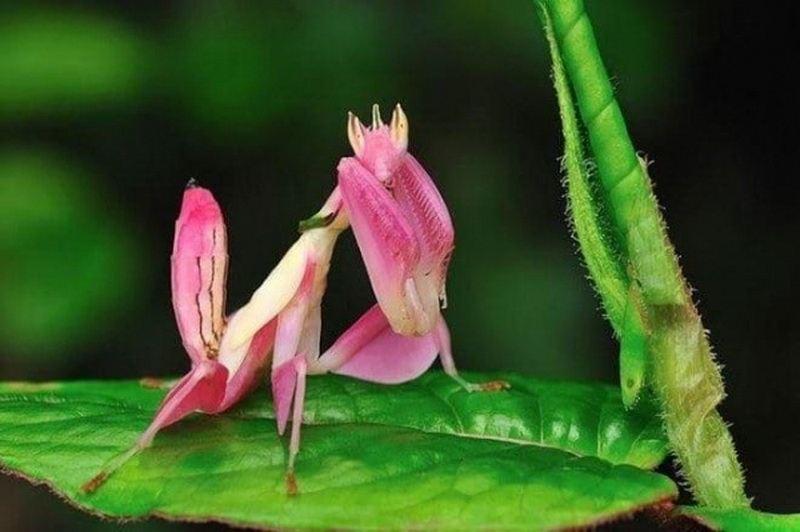 розовый богомол фото