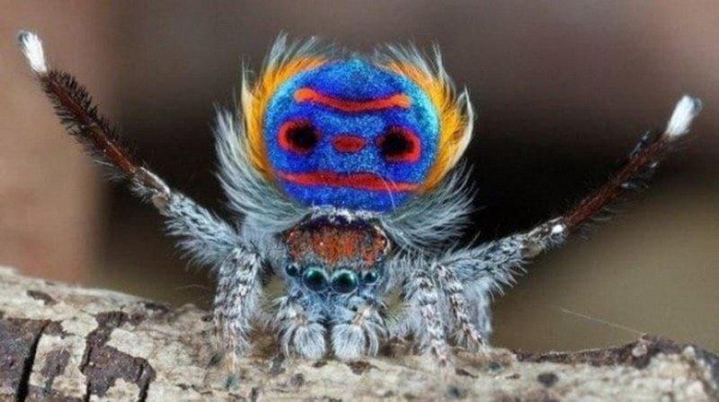 фото паук-павлин