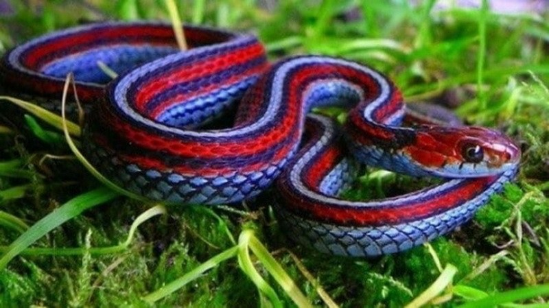 подвязочная-змея фото